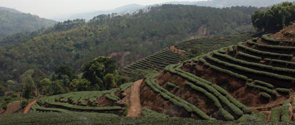 Tea in Thailand – Traveling Doi Mae Saelong (Part 1)